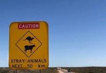 panneau australien attention aux kangourous et animaux sur 50 km et route toute droite